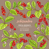 Schisandra vector frame. Schisandra branches vector frame on color background Stock Photos