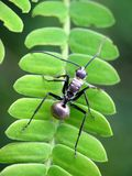 Schistacea di Polyrhachis o formica coperta di spine dello zucchero della savanna fotografie stock libere da diritti
