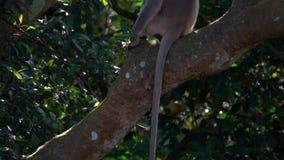 Schistaceus de Gray Langur ou de Hanuman Langurs Semnopithecus que senta-se no ramo de árvore vídeos de arquivo