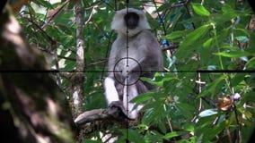 Schistaceus gris de semnopithecus de singe de langur ou de langur de hanuman vu dans la portée de fusil d'arme à feu Chasse de fa banque de vidéos