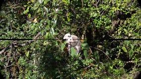 Schistaceus gris de semnopithecus de singe de langur ou de langur de hanuman vu dans la portée de fusil d'arme à feu Chasse de fa clips vidéos