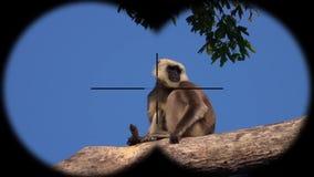 Schistaceus van Gray Langur of Hanuman Langur Monkey Semnopithecus-door Verrekijkers wordt gezien die Het letten op Dieren bij he stock video