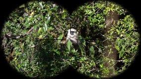 Schistaceus van Gray Langur of Hanuman Langur Monkey Semnopithecus-door Verrekijkers wordt gezien die Het letten op Dieren bij he stock footage