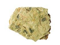 Schiste avec des fossiles de trilobite Image libre de droits