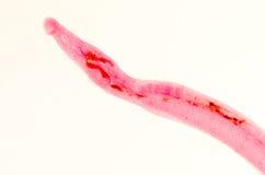 Schistosome animal de los parasiteras Imagen de archivo libre de regalías