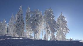 Schitterend de winterlandschap, sparrenhoogtepunt van sneeuw, rustige blauwe hemel, zonnige dag stock footage