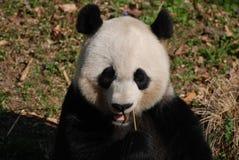 Schitterend Gezicht van Panda Bear Eating Bamboo stock foto's