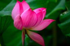 Schitterend Lotus Stock Afbeeldingen