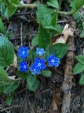 Schitterende blauwe bloemen Stock Foto