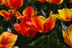 Schitterende Bloeiende Oranje en Rode Bloeiende Tulpen Royalty-vrije Stock Foto