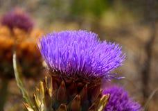 Schitterende bloem van wilde artisjok Royalty-vrije Stock Foto's