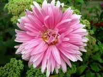 Schitterende bloemgerbera stock afbeeldingen