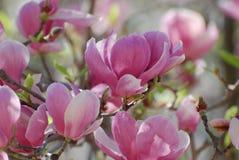 Schitterende Collage van Bloeiende Roze Magnoliabloesems royalty-vrije stock fotografie
