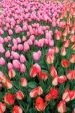 Schitterende die de lentetuin met roze en perziktulpen in het groen van de installatie worden geplooid stock foto