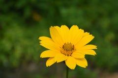 Schitterende Gele Bloeiende Valse Zonnebloembloesems stock afbeeldingen