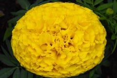 Schitterende gele bloem in ellips op groene achtergrond! stock foto
