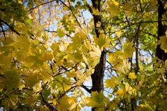 Schitterende gele esdoornbladeren Stock Foto