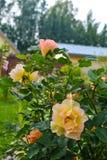 Schitterende gele rozen op groene achtergrond stock afbeelding
