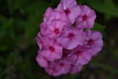 Schitterende Groep Bloeiende Roze Floxbloemen in een Tuin stock afbeelding
