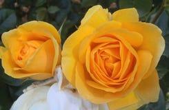 Schitterende Heldere & Aantrekkelijke Gele Rose Flowers Blossom At B C Parktuin Canada in de Zomer van 2018 royalty-vrije stock foto's