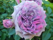 Schitterende Heldere & Aantrekkelijke lichtpaarse Rose Flowers stock foto's