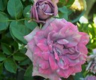 Schitterende Heldere & Aantrekkelijke lichtpaarse Rose Flowers stock foto