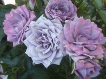 Schitterende Heldere & Aantrekkelijke lichtpaarse Rose Flowers stock fotografie