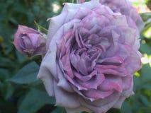 Schitterende Heldere & Aantrekkelijke lichtpaarse Rose Flowers stock afbeeldingen
