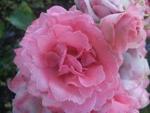 Schitterende Heldere & Aantrekkelijke Lichtrose Rose In Park Garden In BC Canada stock foto's