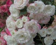 Schitterende Heldere & Aantrekkelijke Witte & Roze Rose In Park Garden In BC Canada stock foto's