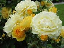 Schitterende Heldere Gele Rose Flowers In Park Garden royalty-vrije stock afbeelding