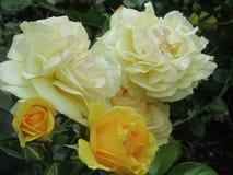 Schitterende Heldere Gele Witte Rose Flowers In Park Garden royalty-vrije stock foto's