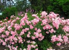Schitterende Heldere Roze Rose Flowers In Park Garden royalty-vrije stock foto