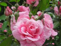 Schitterende Heldere Roze Rose Flowers In Park Garden stock foto