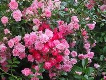 Schitterende Heldere Roze Rose Flowers In Park Garden royalty-vrije stock afbeelding