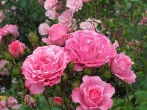 Schitterende Heldere Roze Rose Flowers In Park Garden royalty-vrije stock foto's