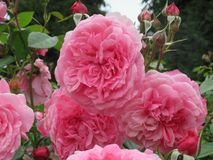 Schitterende Heldere Roze Rose Flowers In Park Garden royalty-vrije stock fotografie