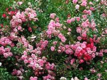 Schitterende Heldere Rozerode Rose Flowers In Park Garden stock fotografie