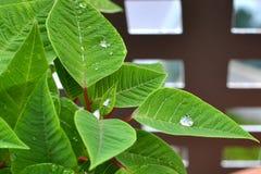 Schitterende hibiscus stock afbeelding