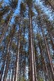 Lange pijnbomen in het bos Stock Afbeeldingen