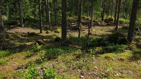 Schitterende mening over aardlandschap op de zomerdag Boslandschap met groene bomen, struiken, installaties zweden stock footage