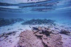 Schitterende mening van onderwaterwereld snorkeling De Maldiven, Indische Oceaan stock foto's