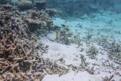 Schitterende mening van onderwaterwereld snorkeling Dode ertsaderkoralen en mooie vissen in blauw water stock afbeeldingen