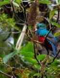 Schitterende mocinno van Quetzalpharomachrus royalty-vrije stock fotografie