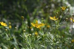 Schitterende Overvloed van Gele Coreopsis-Bloemen die in Sprin bloeien stock foto's