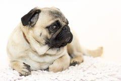 Schitterende pug stock afbeelding