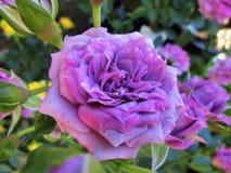 Schitterende Purpere Rose Flowers At Park Garden B C, Canada 2018 stock afbeeldingen