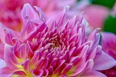 Schitterende roze dahlia in volledige bloei, close-up stock foto's