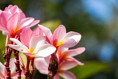Schitterende Roze Frangipani-Bloemen in de Zonneschijn royalty-vrije stock foto