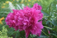 Schitterende Roze Pioen die in een Tuin tot bloei komen royalty-vrije stock foto